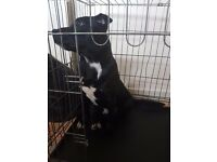 Staffy male 6m old puppy brindle