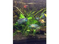 Electric blue acara, tropical, fish, aquarium, fresh water