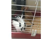 Two rabbits for sale, with cage etc