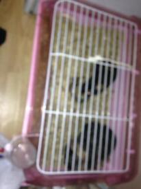 Guinne pigs x 2