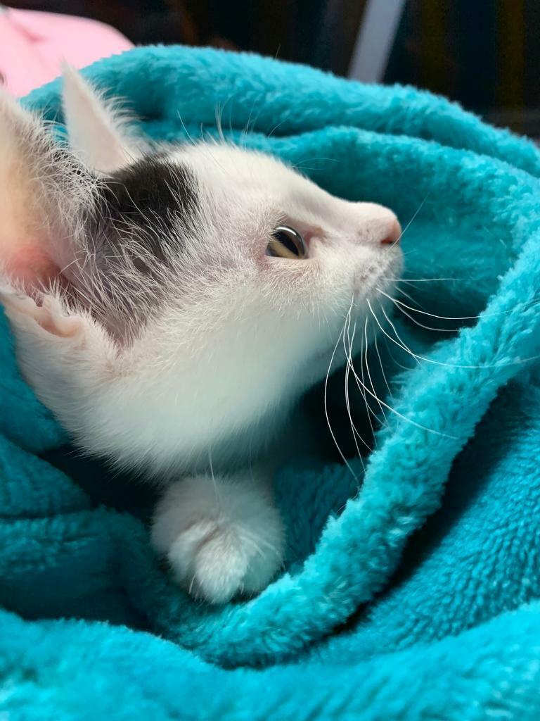 Turkish Angora female kitten   in Hoxton, London   Gumtree