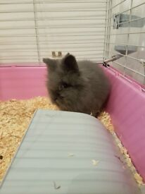 Pure bred lion head rabbit 7 months old