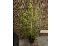 conifer tree,approx 4ft high, (2 available)