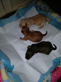 Puppys Bishon