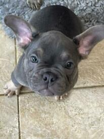 French bulldog 10 weeks old ready now