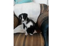 Lovely border collie pups for sale