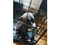 Staffordshire bull terrier pups for sale. 7 week old