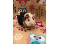 Gorgeous little guinea pig boar
