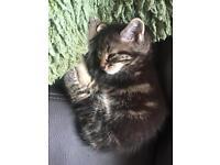 Tabby kittens £60