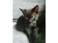 4 black very playful kitten SOLD