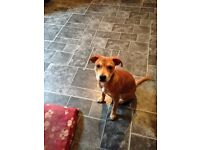 6 Month old female collie cross staff
