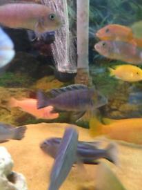 African Malawi Cichlids Fish (special 3)