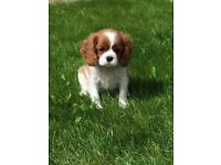 Stunning pedigree Cavalier King Charles puppy for sale