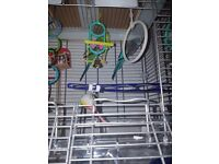 2 male budgies, cage and accesories
