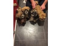 4 male kc registered Lhasa apso puppys