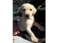 Yellow Labrador Puppy (only 1 dog left)
