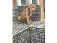 Mastiff Puppies/ only 3 boys left!!!
