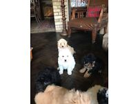 Poodle cross Lhasa apso puppies