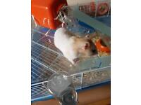 Female Hamster for sale.