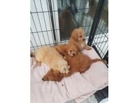 Red and Apricot Cavapoo Puppies