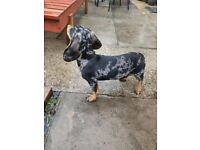 Miniature dachshund puppies are available