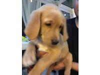 Precious golden Labrador female puppy