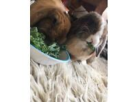 2 rabbits for sale £20 for both