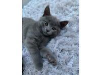 British Shorthair Boy Cat