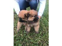 Pomeranians puppys
