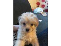 Pugshiere puppy.