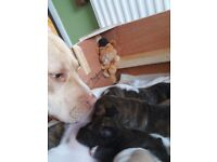 Staffordshire bull terriers pups