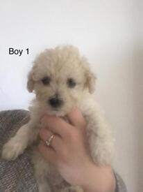 Beautiful poochon pups 🐶