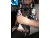 French bulldog puppies black