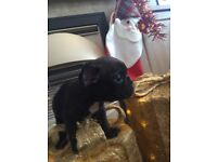 French bulldog puppy's for sale