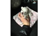 Chihuahua puppy's 2 girl2 boys