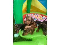 Adorable kc miniature daschund puppies