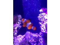 Free clown fish must go today