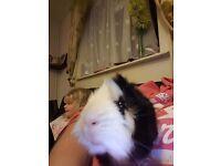 1 boy guinea pig