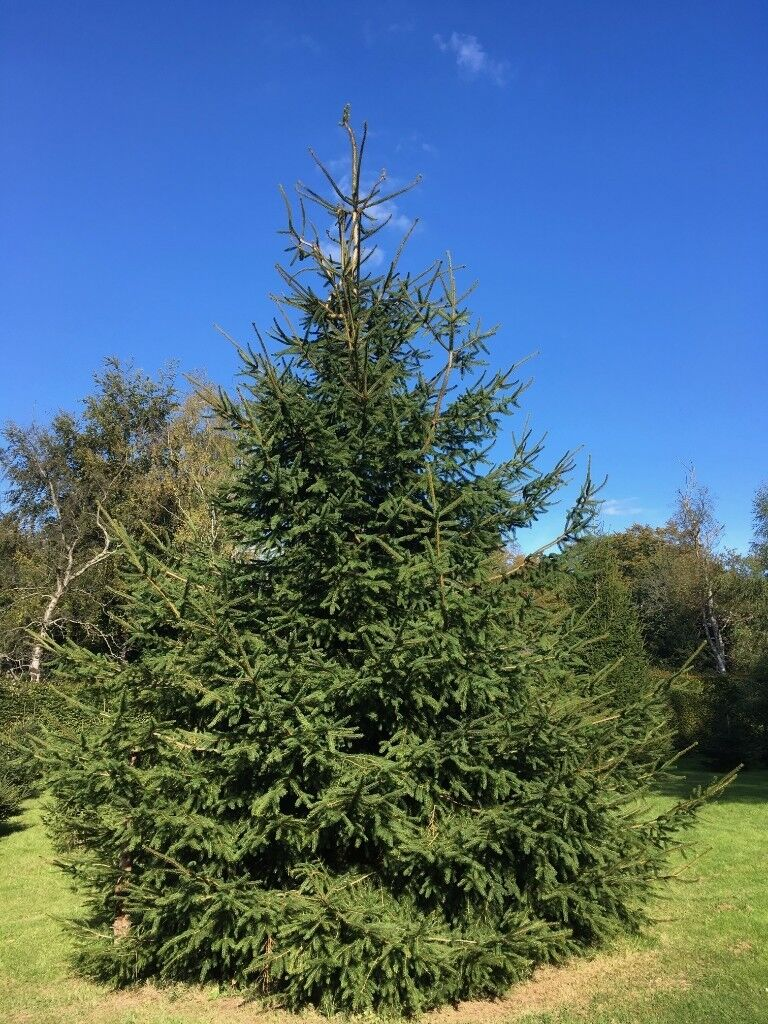 Five 30-35 foot Christmas Trees, Norway Spruce | in Forest Row, East ...