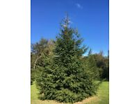 Five 30-35 foot Christmas Trees, Norway Spruce
