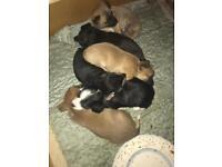 Shitzu chihuahua pups