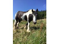 Coloured gelding 3yrs. Lightly backed