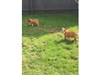Female english Bulldog puppies