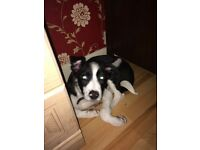 Border collie for sell