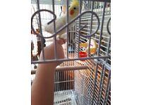 2 lutino cockatiels an cage