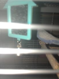 Female budgie for sale