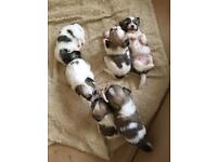 5 adorable and stunning Zuchon puppies