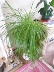GIANT LOVELY HEALTHY SPIDER PLANT