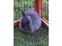 Dwarf lop baby female blue rabbit