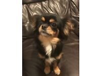 Chihuahua x cav King Charles, female, tiny and beautiful 2 and half years
